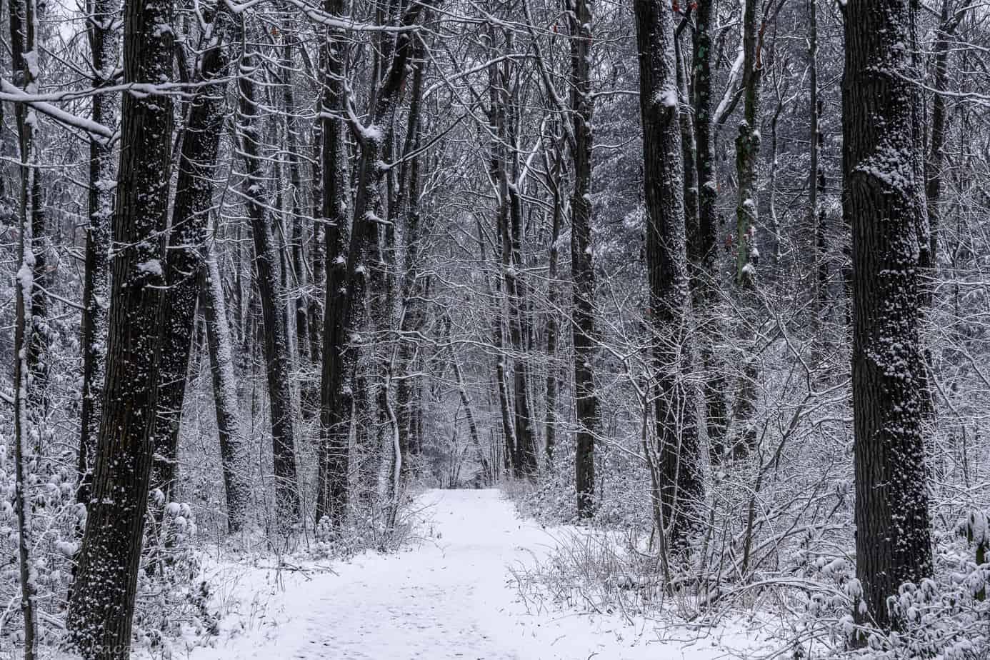 A winter woodland scene of snow covered trees